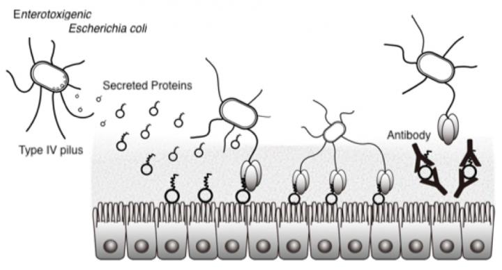 Fig.1. The mechanism of initial attachment of ETEC to human intestinal epithelium and its inhibition by antibodies. / Credit: Osaka University