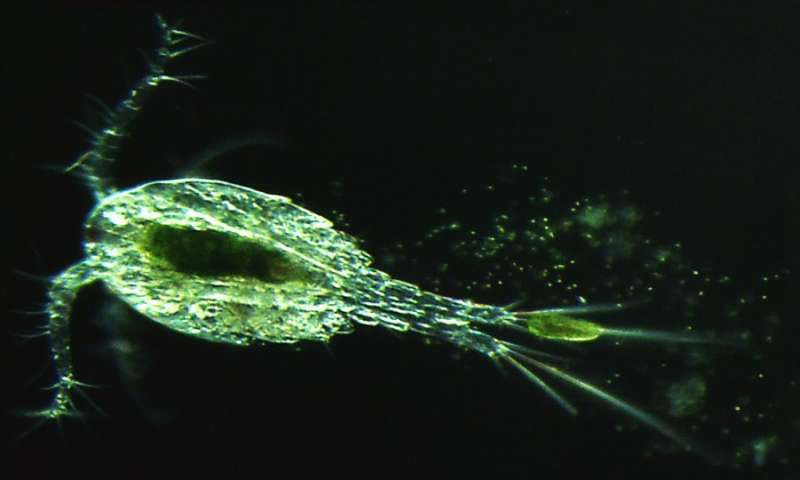 A millimeter-sized crustacean known as a copepod excretes partially digested paramecia and green algae living inside those paramecia. A new study shows that this partial digestion exposes the otherwise-protected algae to chloroviruses, allowing the viruses to replicate and bloom in their freshwater habitats. / Credit: John DeLong/Biological Sciences/University of Nebraska-Lincoln