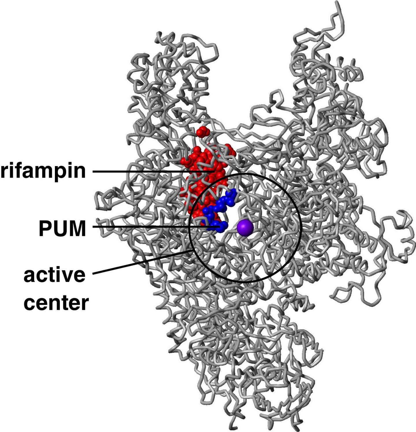 Structure of bacterial RNA polymerase, showing the binding sites for the new antibiotic pseudouridimycin (PUM) and the current antibacterial drug rifampin (Rif). PUM has a lower resistance rate and a smaller resistance target than Rif -- just 2 to 4 positions where alterations that result in PUM-resistance (blue) vs. 27 positions where alterations result in Rif-resistance (red) -- due to functional constraints on alteration of the binding site for PUM in the RNA polymerase active center. / Credit: David Degen and Richard H. Ebright (Rutgers University)