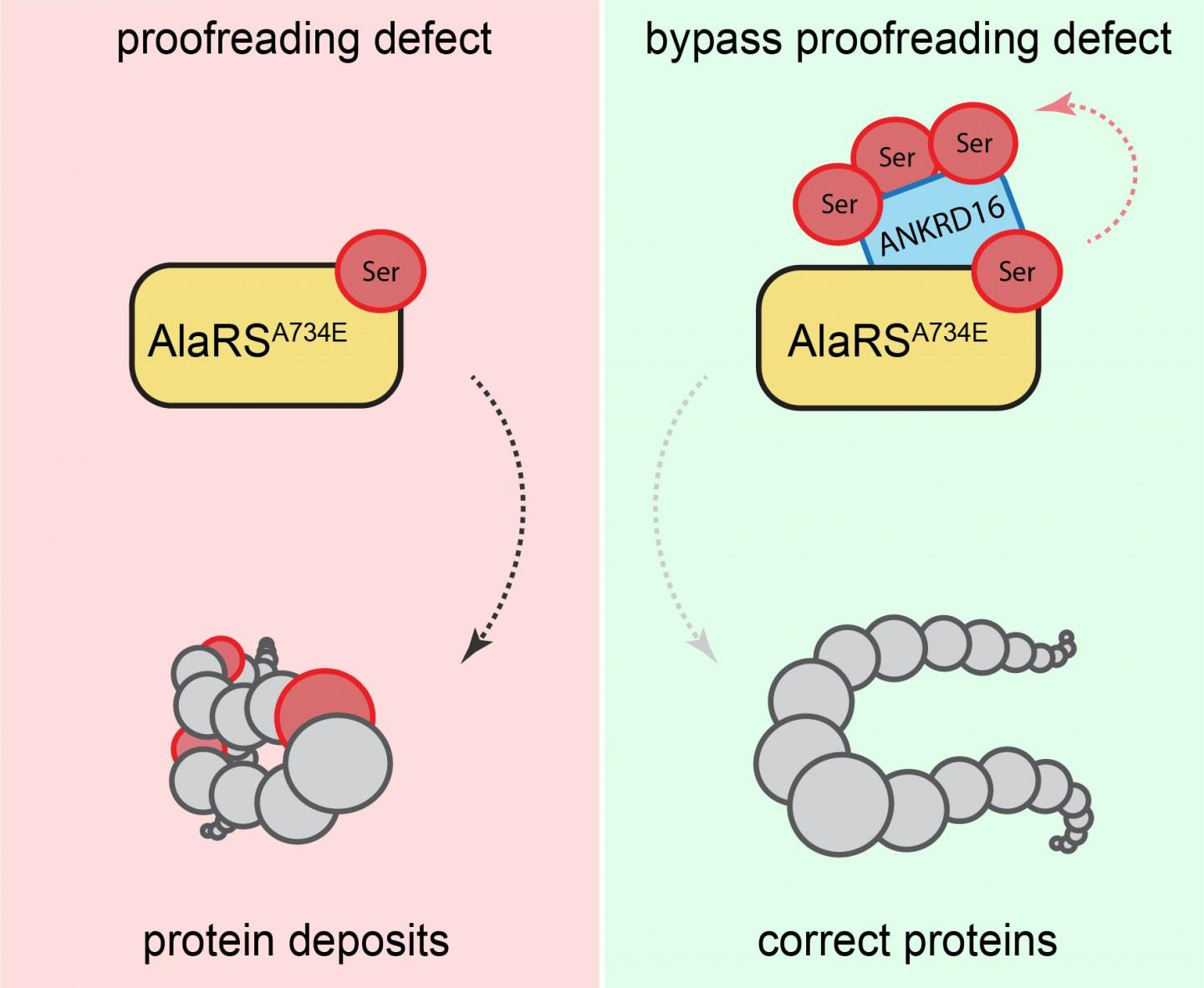 Proofreading defect bypassed. / Credit: Ackerman Lab/UC San Diego