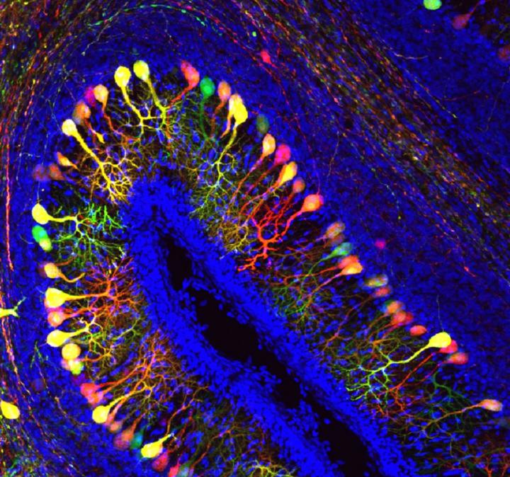 A cross-section of the folded cerebellar cortex or 'little brain' of a chicken embryo, with 3 layers of cells. The middle layer consists of Purkinje cells with their characteristic dendritic branches. This image shows healthy Purkinje cells, highlighted in bright colors. With a deactivated MCT8 transporter, the Purkinje cells would have much smaller dendritic branches. / Credit: KU Leuven Lab of Comparative Endocrinology - Joke Delbaere & Pieter Vancamp