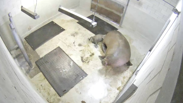 Quebec City Aquarium sees first captive walrus birth ever in Canada.