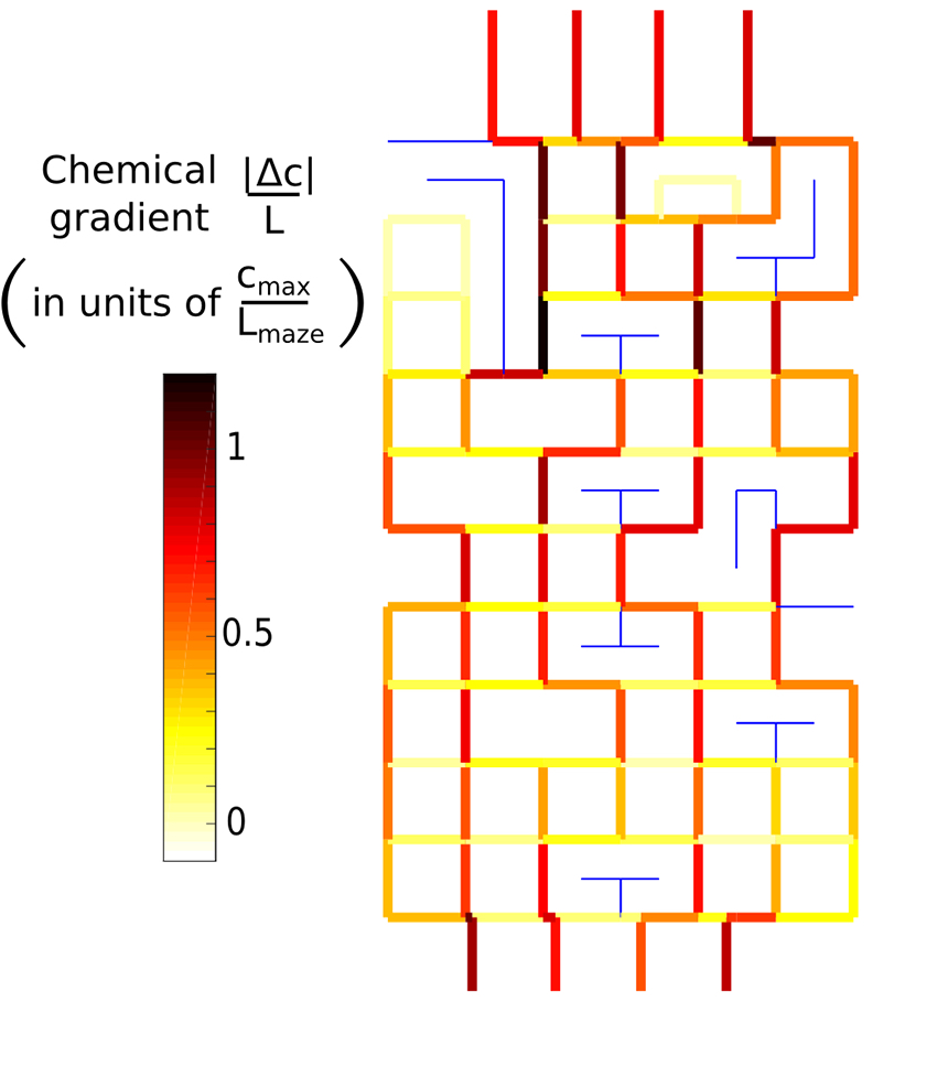Map of the chemical gradient in the maze. The gradient is measured in units of the characteristic maze gradient cmax / Lmaze, where cmax is the concentration of chemoattractant at the finish and Lmaze = 1 mm. Edges with zero gradient are colored blue
