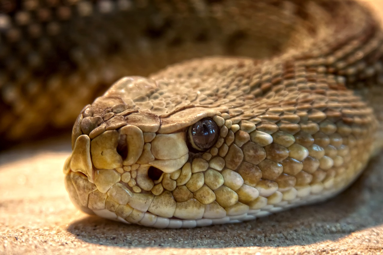 A common idea is that rattlesnakes are more likely to bite humans during times of drought, but a new study shows otherwise.