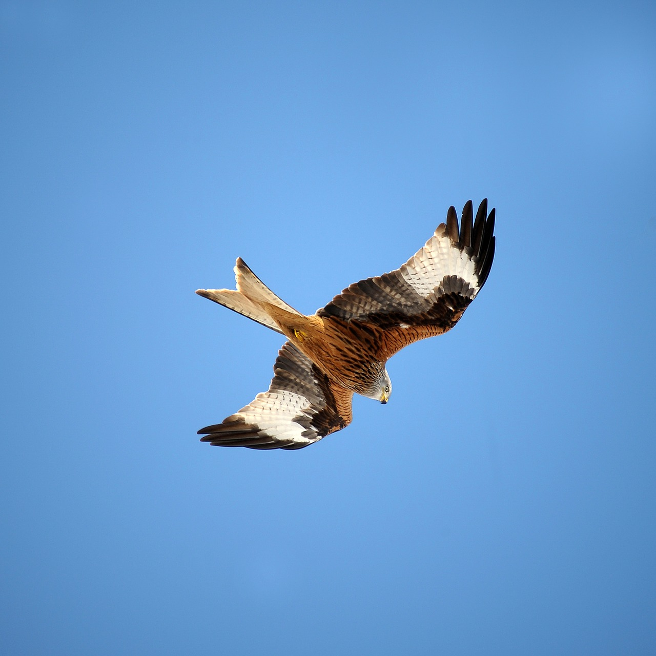 Meet the red kite, a predatory bird experiencing some hardship in Europe.