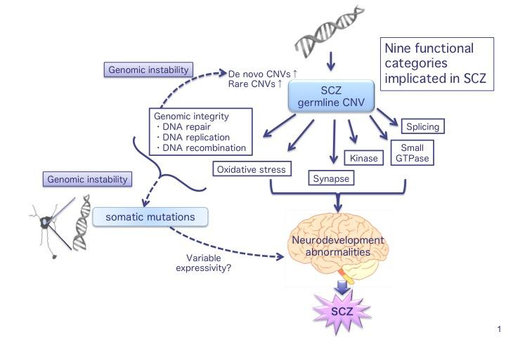 The results of gene set analysis in a unified model. In schizophrenia (SCZ), nine functional categories are affected by germline CNVs. Disruption of genomic integrity and oxidative stress response induces both genomic instability, (which is involved in germline CNV formation and thus an increased rate of de novo or rare CNVs) and somatic CNV formation in neurons (variable expressivity of CNVs).