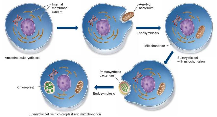 The endosymbiotic origin of mitochondria