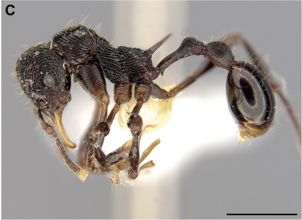 The new ant species that was found in a frog's puke.