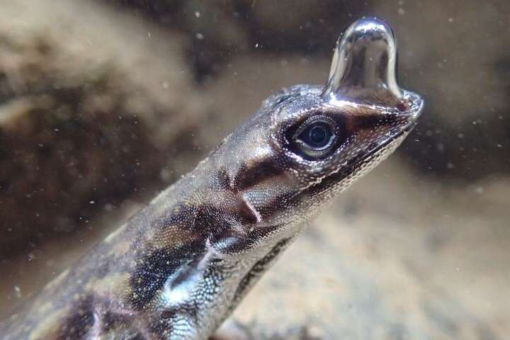 The water anole is a lizard that can stay underwater for 16 minutes or more by harnessing an air bubble.
