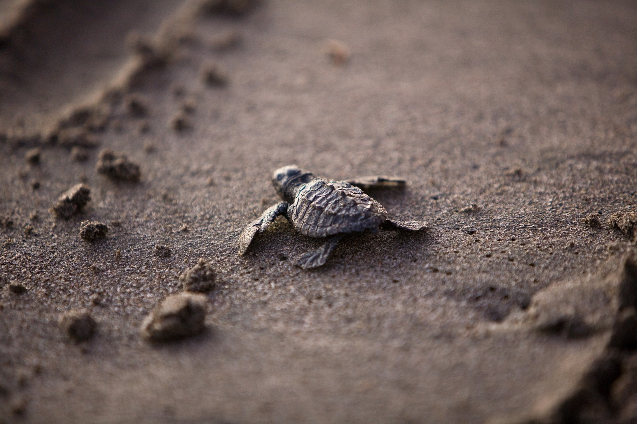 Baby sea turtles like this one are particularly vulnerable to plastic bits.