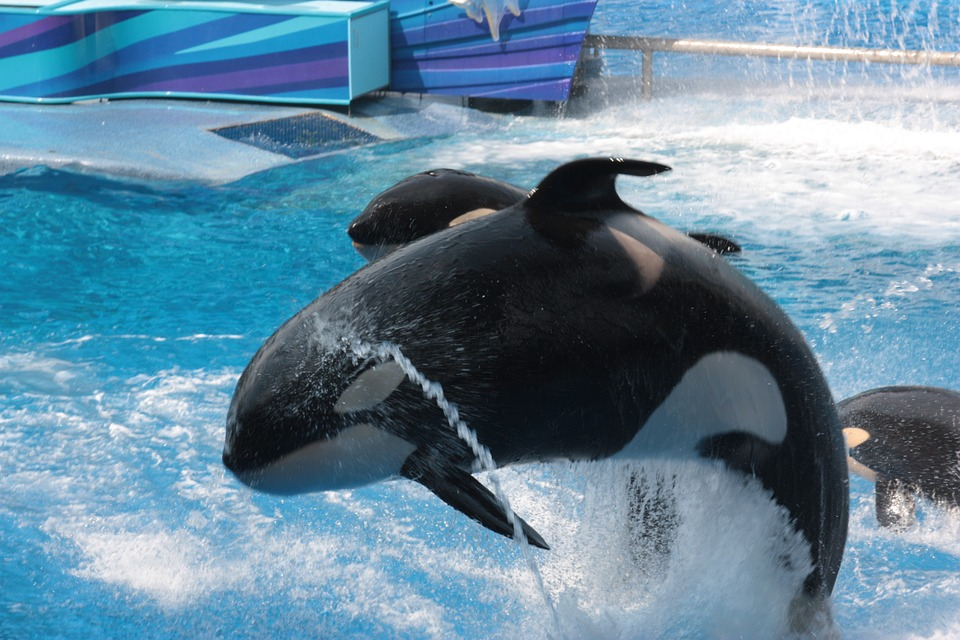An orca at one of SeaWorld's facilities. (Kayla not pictured)