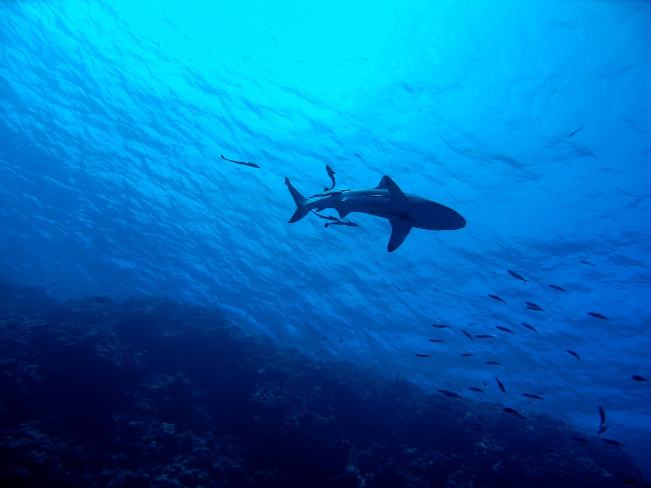 Researchers noticed fewer sharks in the Chagos archipelago than they originally expected.