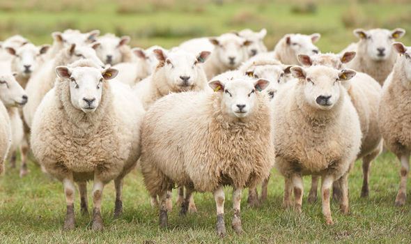 After falling asleep, 1300 of a shepherd's unsupervised sheep made their way into the Spanish city of Huesca.