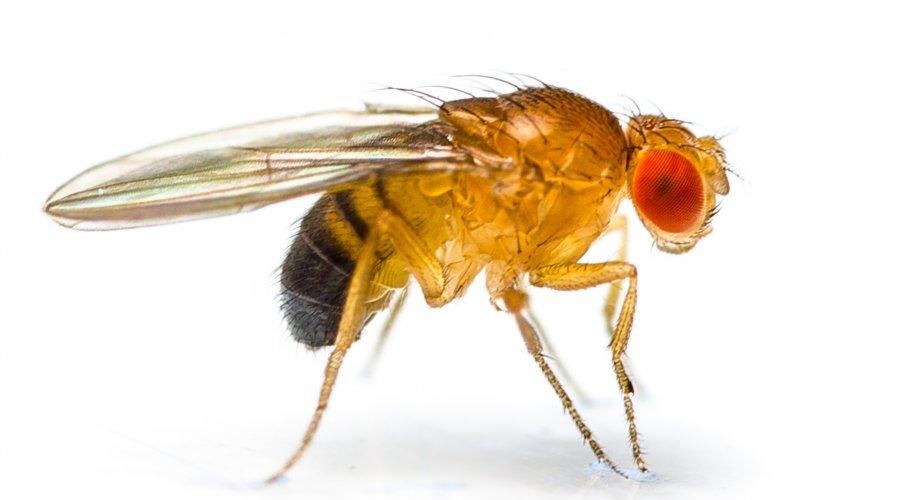 Drosophila melanogaster, the common fruit fly
