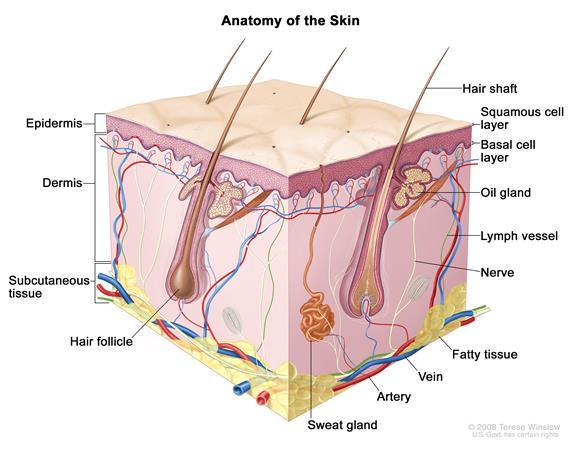 Skin diagram, credit: National Cancer Institute