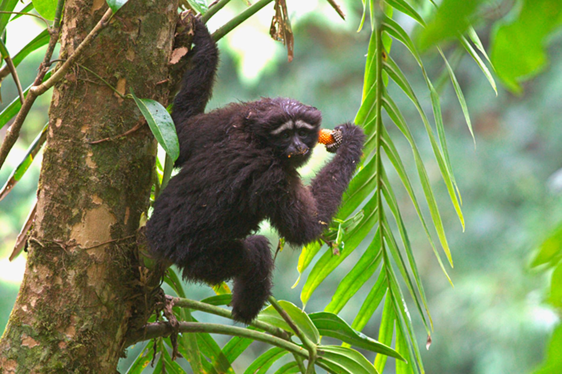 A Skywalker hoolock gibbon in its natural habitat.