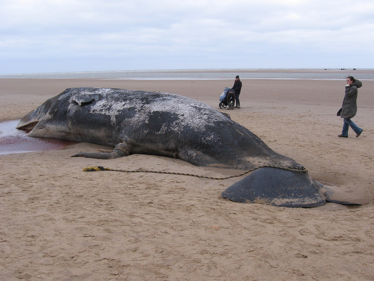 A beached whale that somehow navigated far away from its usual path.