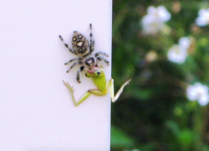 A regal jumping spider from Florida drags a frog up a wall to get eaten.