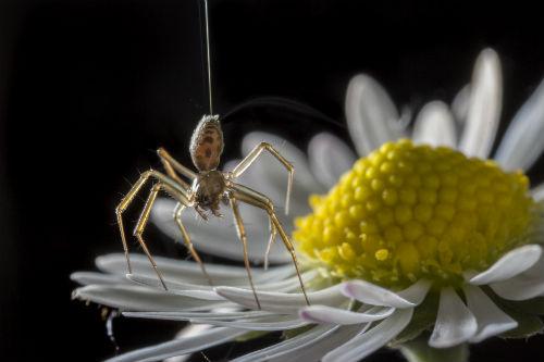 A spider begins releasing silk to go 'ballooning.'
