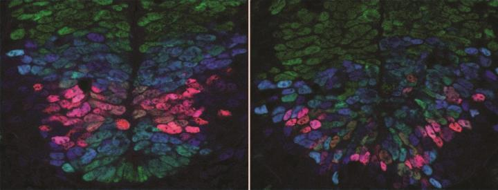 A normal developing spinal cord (left) showing precise patterns of gene activity (red, blue, green demarcating different types of cells). In a spinal cord in which one of the signals is disrupted (right) the accuracy of gene activity has been lost. / Credit: Anna Kicheva
