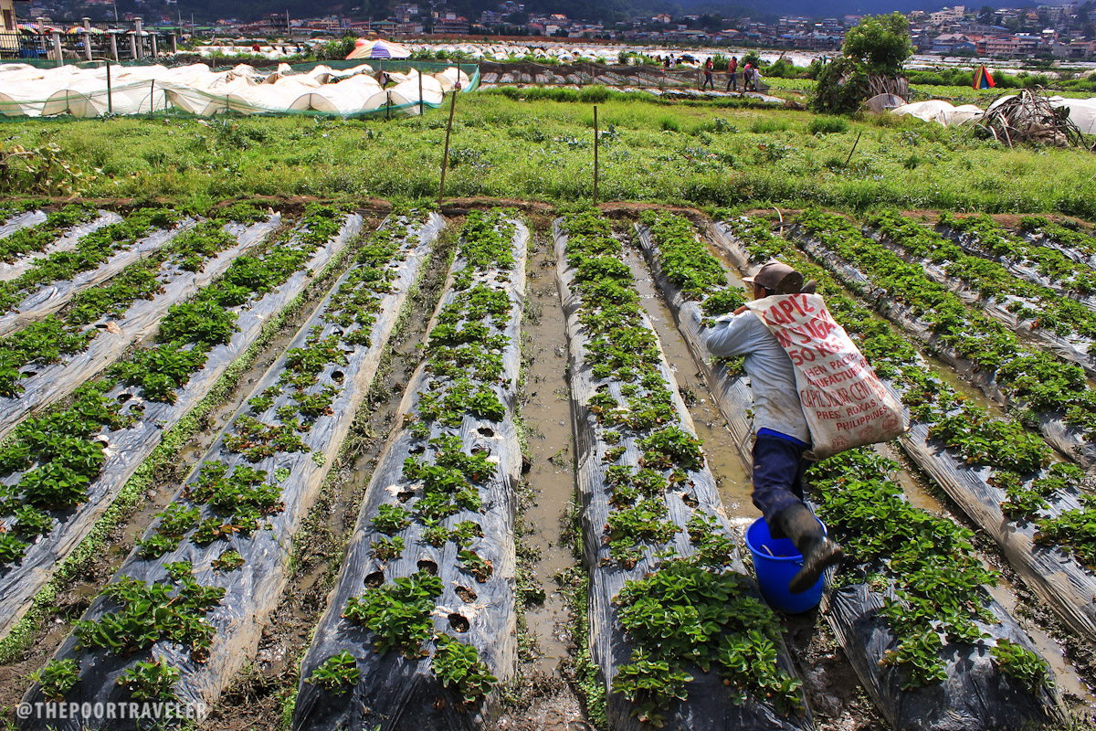 Chlorpyrifos is still used on farms to spray crops such as strawberries, apples, oranges, and broccoli. Photo: The Poor Traveler