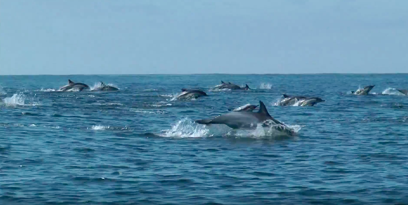 Scientists looked at dolphin skin cells to determine food chain length. Photo: Ric O'Barry's Dolphin Project