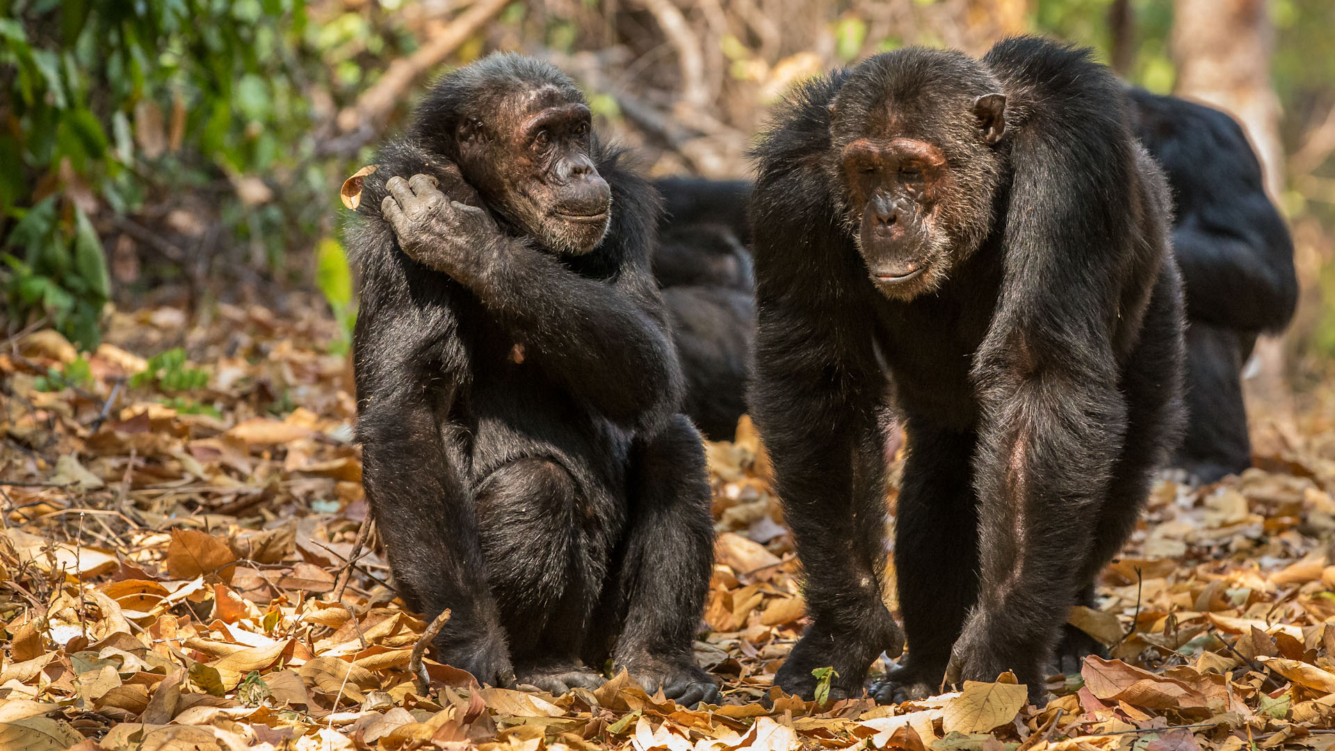 Chimpanzees can recognize one another by their buttocks similarly to the way we recognize one another by our faces.