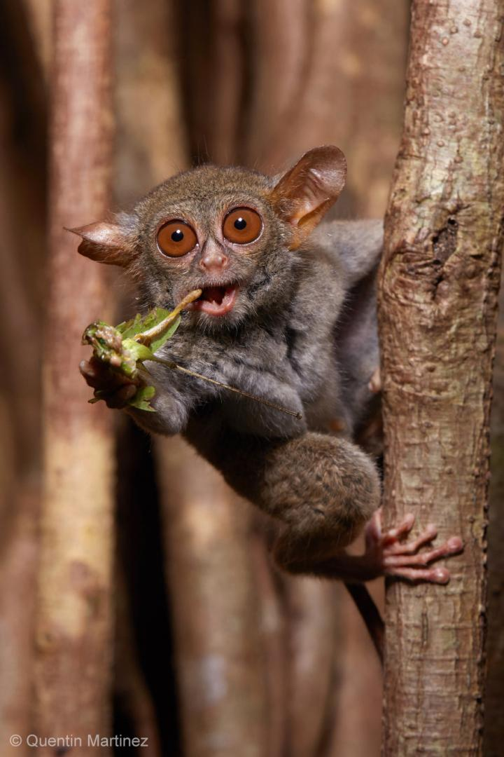 A spectral tarsier (Tarsius tarsier) feeding on a grasshopper in Tangkoko National Park, Northern Sulawesi, Indonesia. Tarsiers have five chitinase genes to digest the high amount of chitin in their insectivorous diet, which likely represents the ancestral condition of all placental animals, including humans. Copyright/Credit: Quentin Martinez