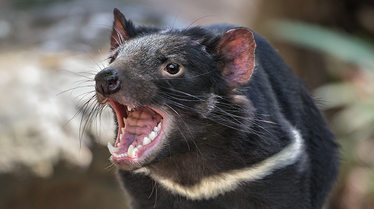 The Tasmanian devil species is threatened by extinction due to the devil facial tumor disease (DFTD).