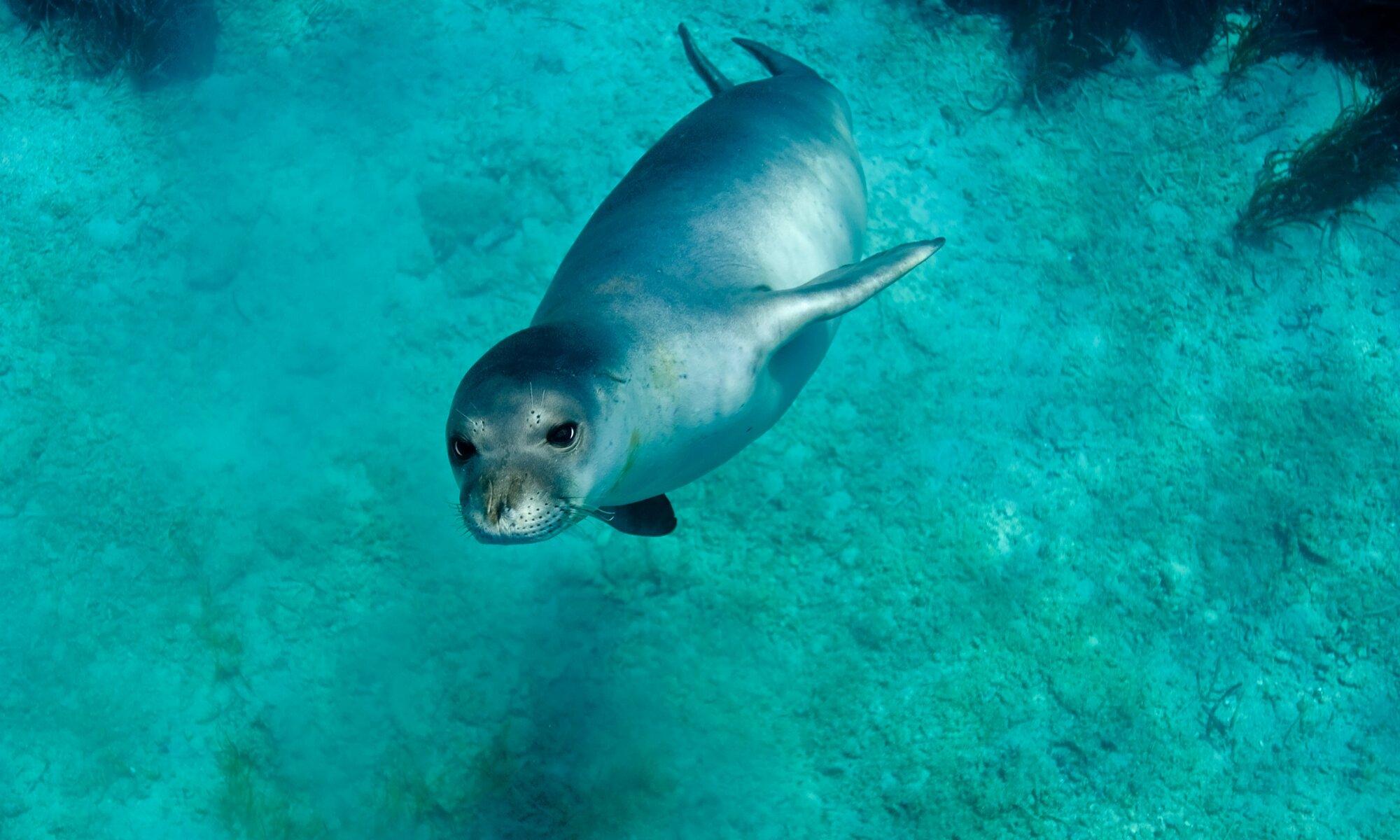 The humble Mediterranean monk seal.