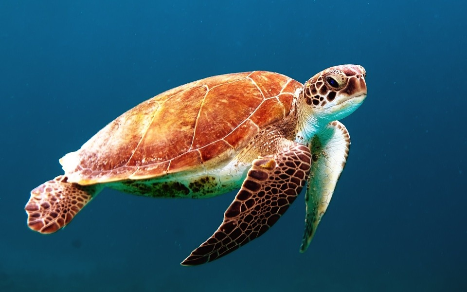 A sea turtle, which probably has microplastics in its gut.