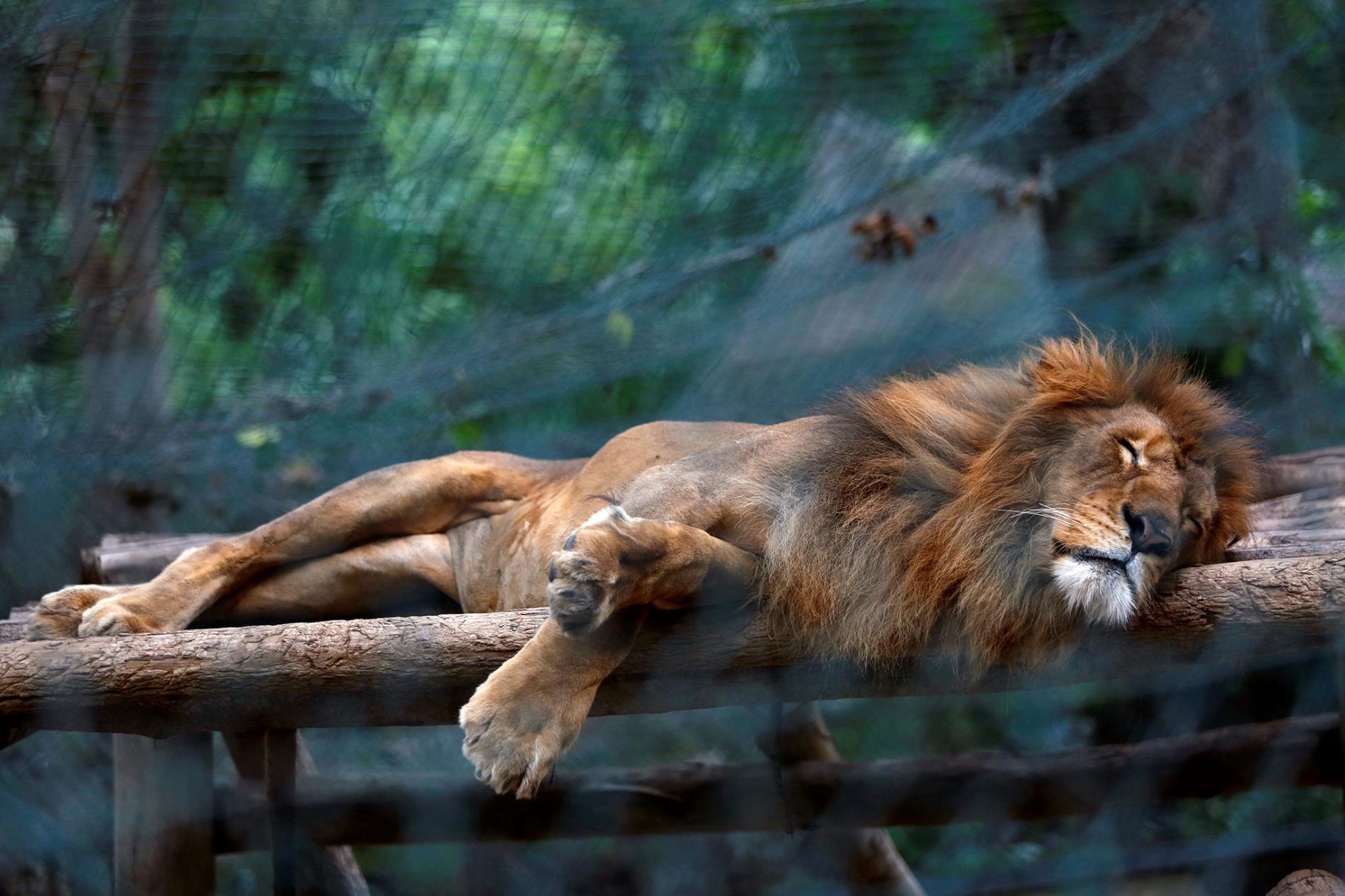 A malnourished lion sleeping in the zoo.