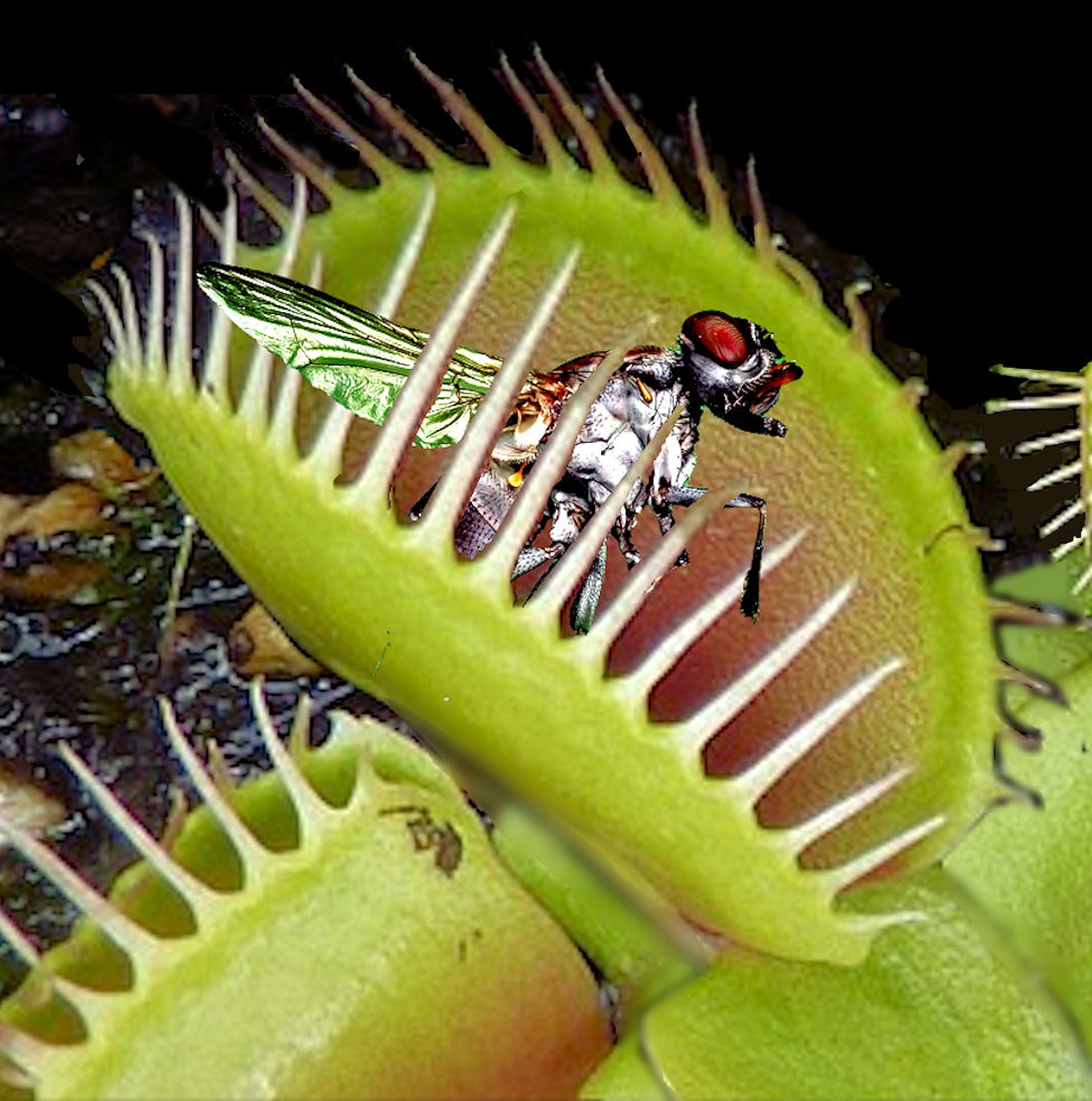 Venus flytraps close up on their prey and then slowly digest it.