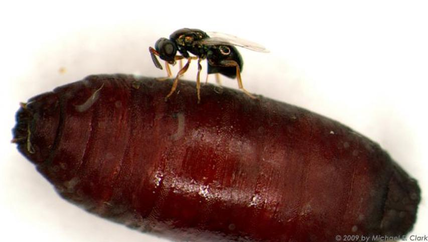 Female parastic wasp injects venom in fly pupa host. / Credit: Michael E. Clark