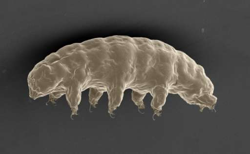 Scanning electron microscopy images of the extremotolerant tardigrade, R. varieornatus, in the hydrated condition. / Credit: Nature Communications Hashimoto et al