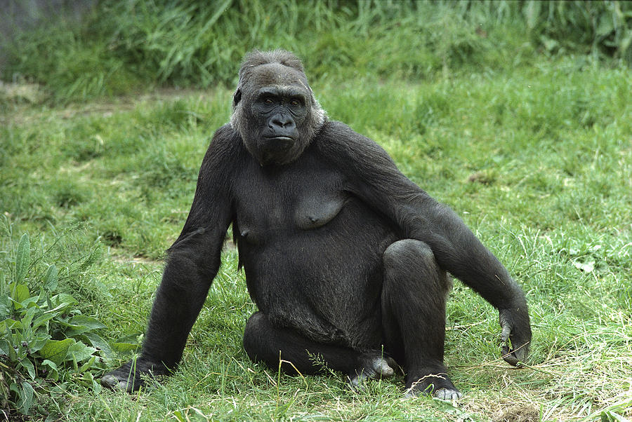 Female gorillas have been documented partaking in homosexual behavior for the first time.