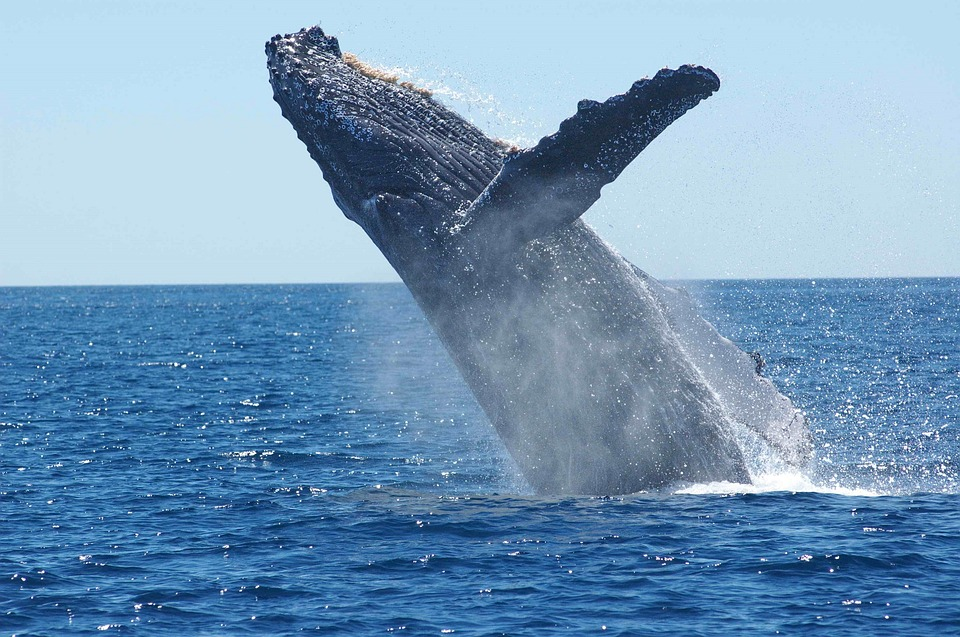 Humpback whale / Credit: Pixabay
