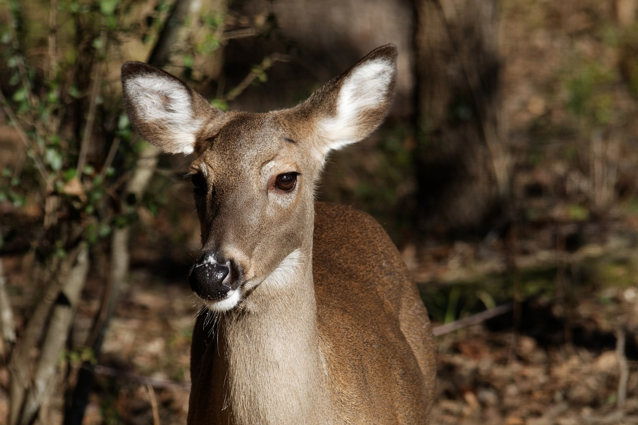 White-tailed deer typically stick to an herbivorous diet, but sometimes they go off looking for other minerals to munch on.