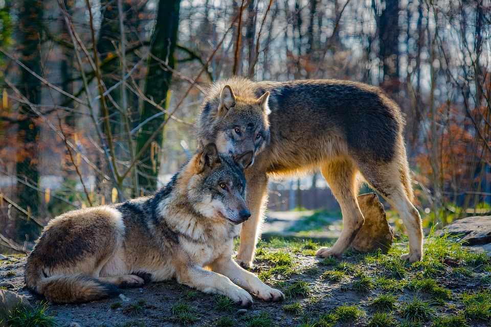 The introduction of wolves to Yellowstone National Park in 1995 changed the ecosystem for the better, researchers say.