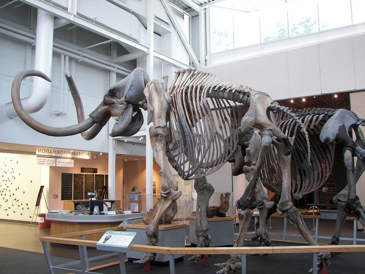 Could creatures like the wooly mammoth one day walk the Earth again?