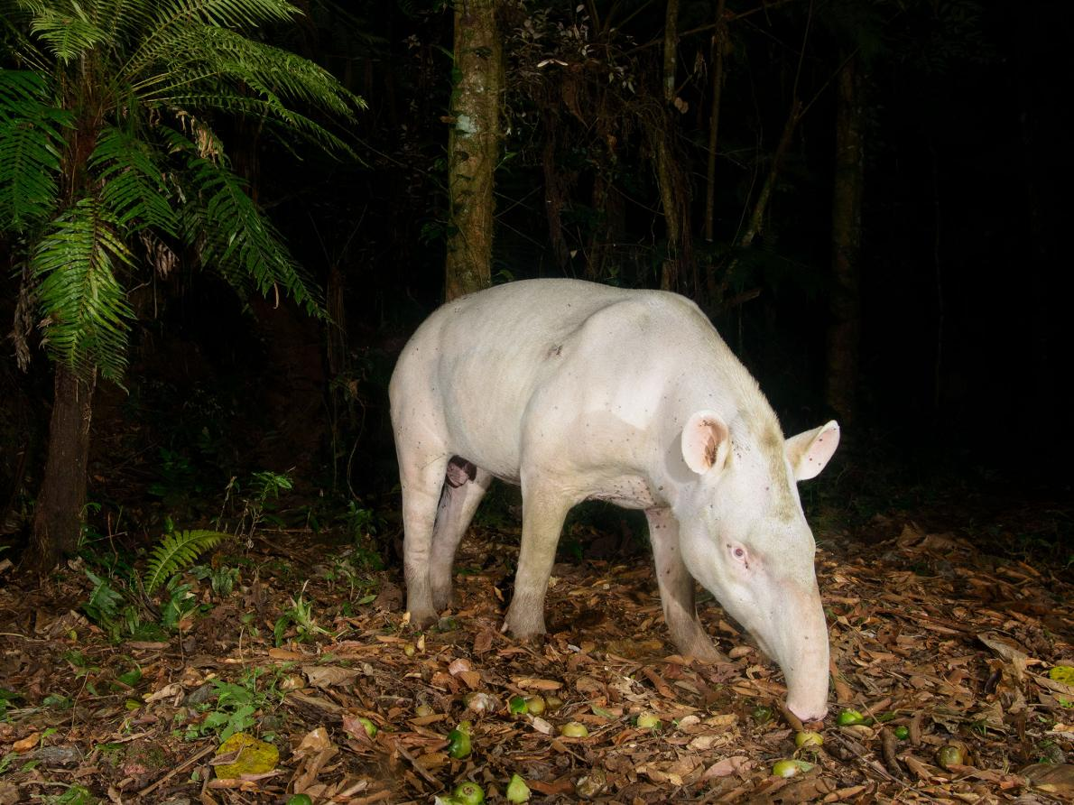 The albino tapir was photographed using a camera trap in Votorantim Reserve in May 2014.