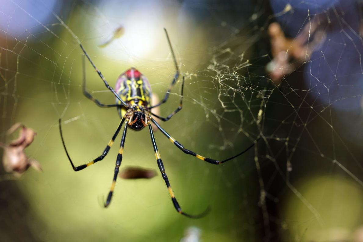 This Joro spider, pictured in Japan, has a few friends who have come to the United States
