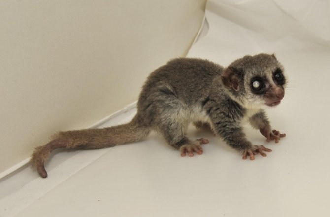 Jonas the lemur was the world's oldest dwarf lemur when he died recently just short of 30 years old.