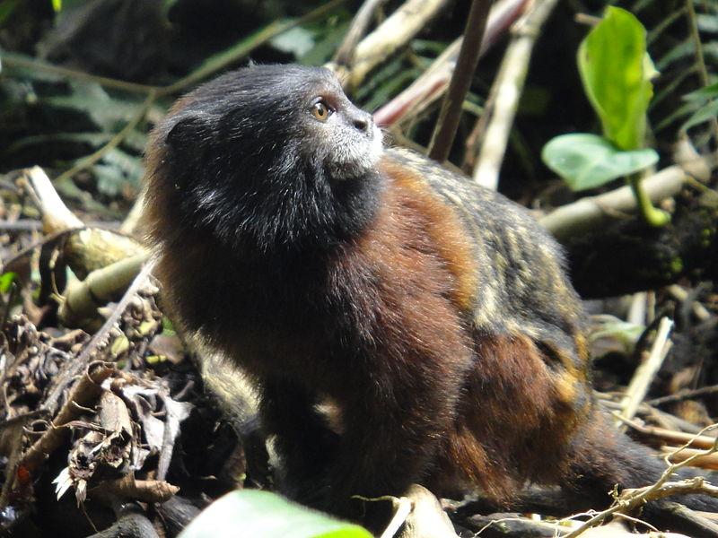 A Saddleback Tamarin in Mera Ecuador