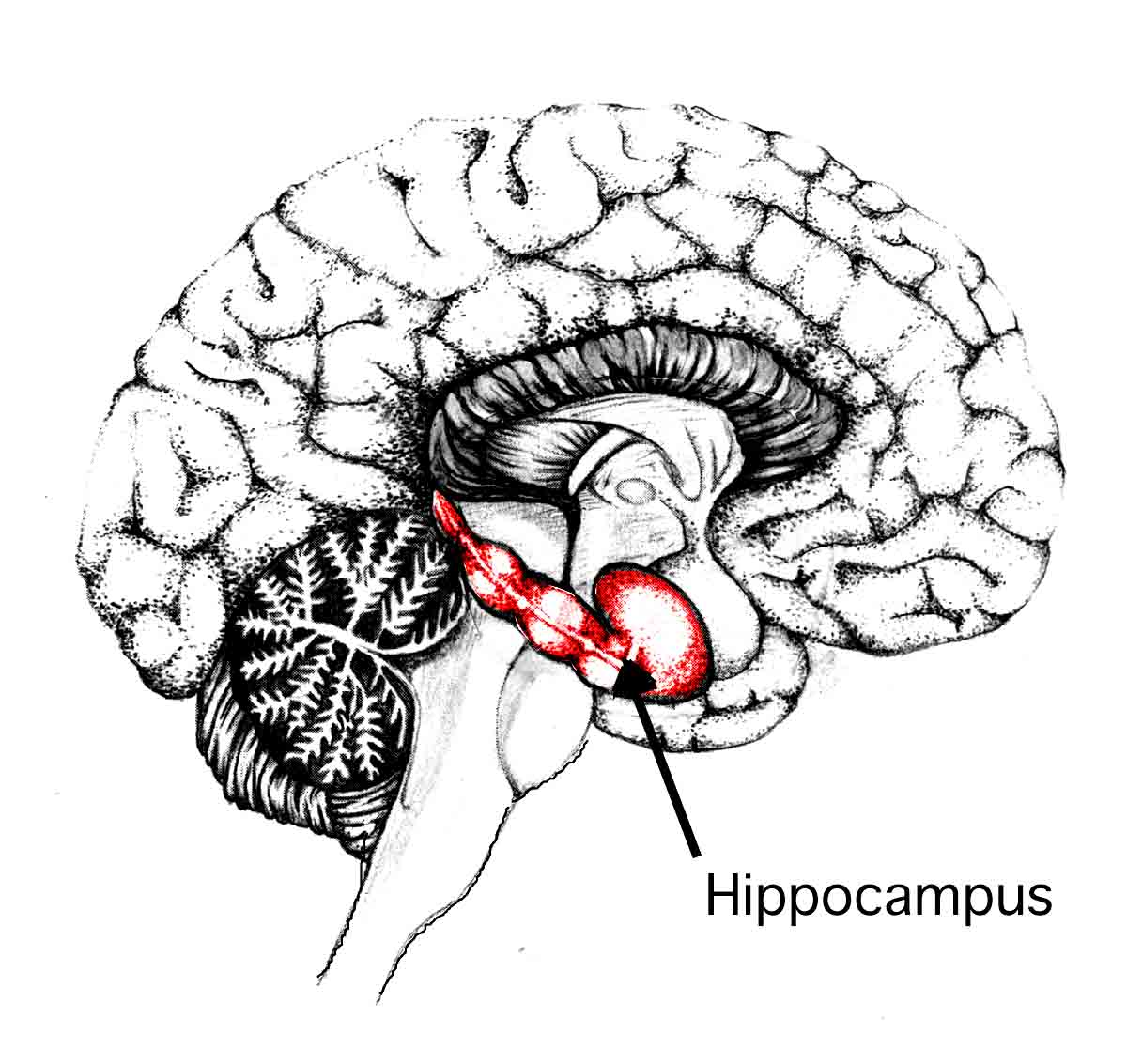 Diet and nutrition affect hippocampus size and mental health.