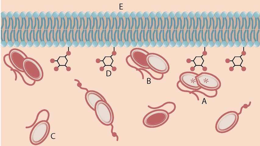 An activated PTEN dimer that contains two non-mutant proteins (A) can transform the functional lipid (D) on the cellular membrane (E) into a chemical form that tunes down cancer predilection. Dimers that contain a mutated protein (B) or PTEN monomers cannot transform the functional lipid.