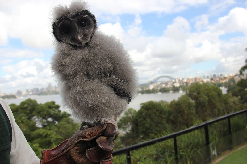 Griffin, a nine week old Sooty Owl chick arrived recently at the Taronga Zoo