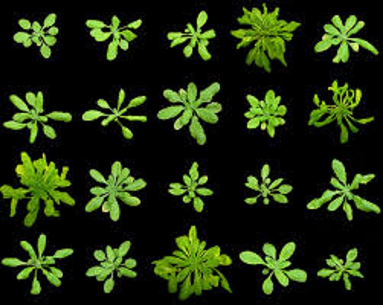 Because its entire genome has been sequenced, we can use Arabidopsis thaliana to learn how plants respond to human pathogens.