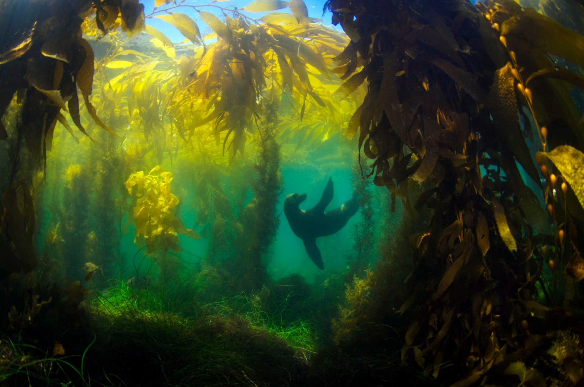 A sea lion plays in a kelp forest
