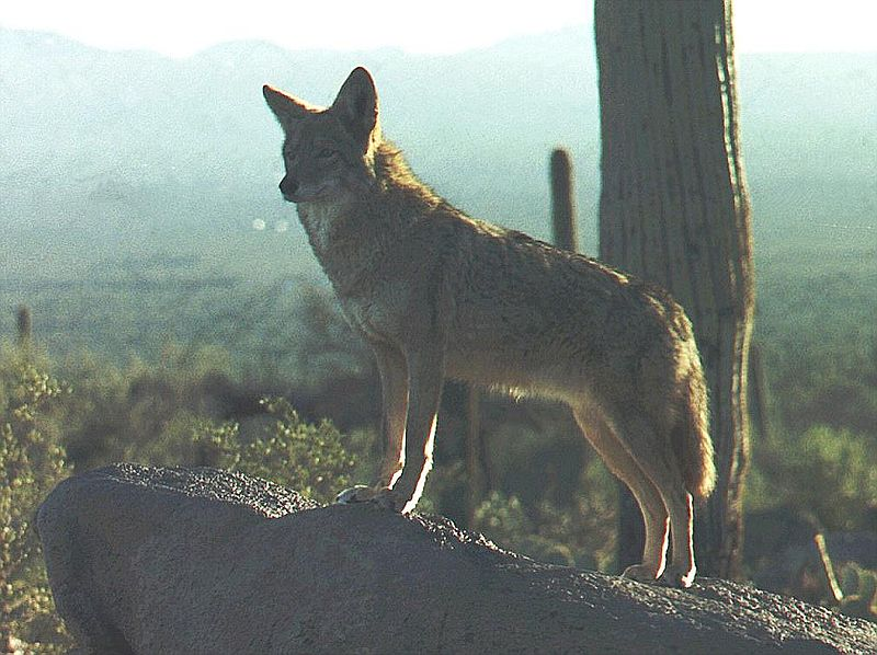 Coyotes are coming to New York, instead staying in Arizona like this one